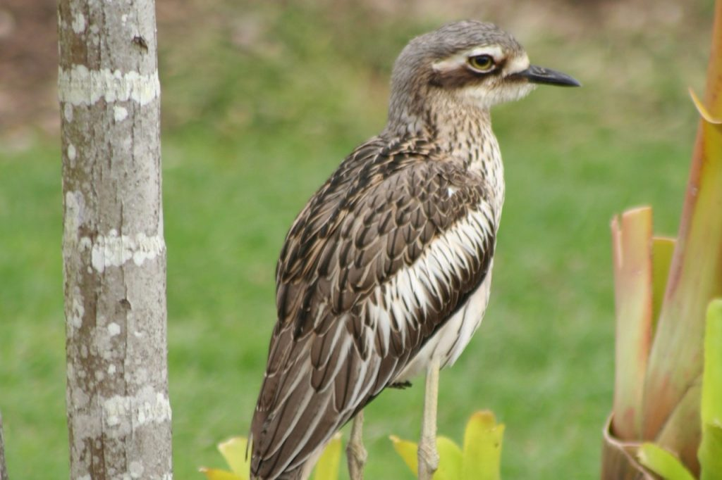 THE CASE OF THE CURLEW